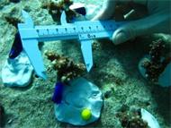 サンゴ計測