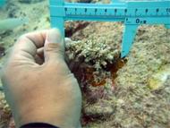 サンゴ計測➁